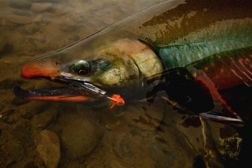 Gamefish of the goodnews river alaska the spotted tail for Dolly varden fish