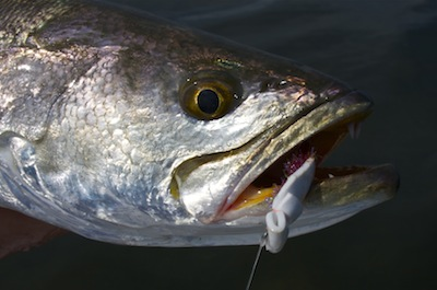 spotted seatrout caught on a gurgler.