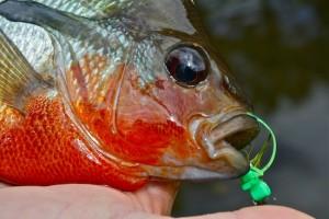 redbelly sunfish