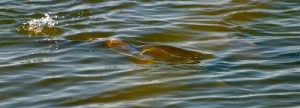 Hungry redfish search for food in a North Carolina salt marsh.
