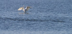 An egret follows a redfish school hoping for some free lunch. Many kinds of birds do this.