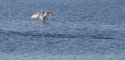 egret w redfish school