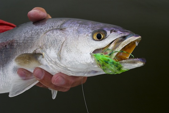 mosquito lagoon seatrout, orlando area fishing report