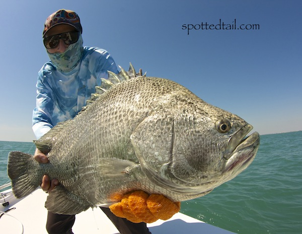 Tripletail fishing archives the spotted tail for Triple tail fish