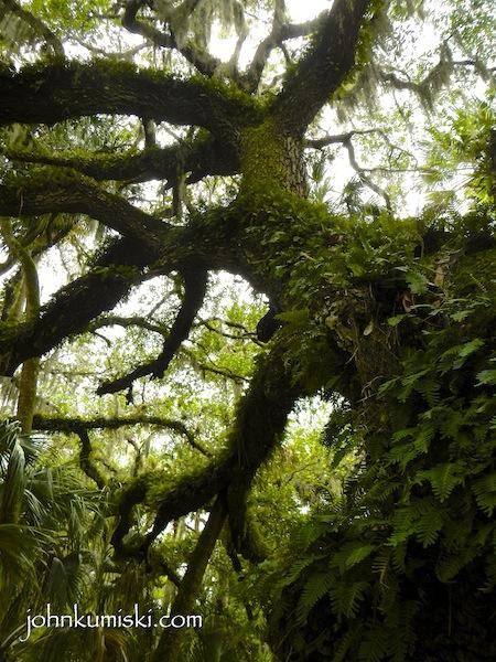 An oak tree along the trail...