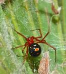 Diet of Florida's Elusive Red Widow Spider