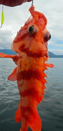 A type of rockfish, beautiful little fish.