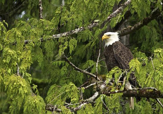 cedar eagle