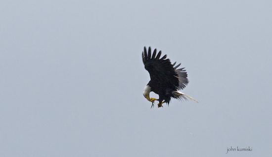 eagle eating