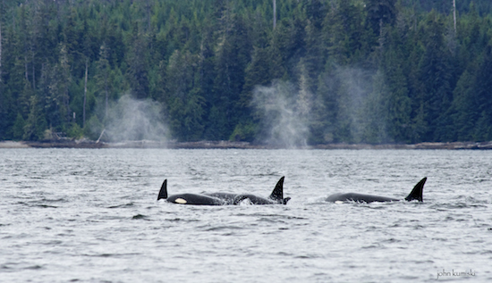 It was a sizable group of orcas.