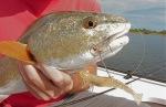 Hot Redfish Bite Mosquito Lagoon Fishing Report