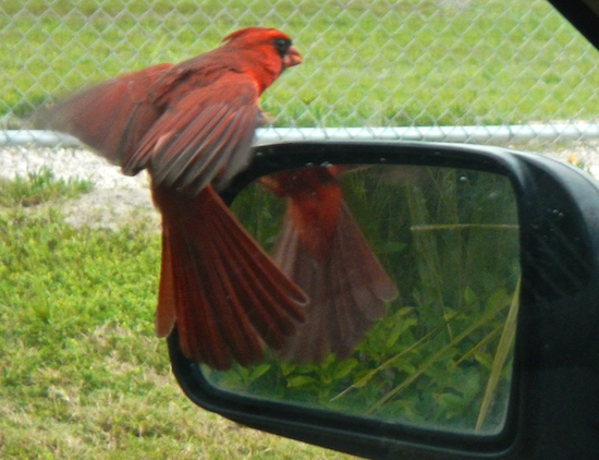 The cardinal landed on my mirror...