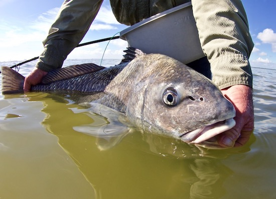 black drum fishing report