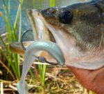 Week of the Black Drum Fishing Report