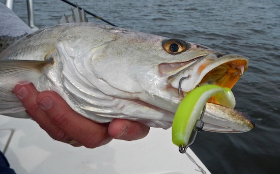 seatrout on DOA CAL mosquito lagoon fishing report