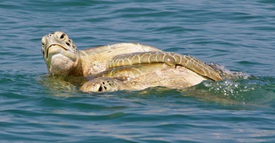 copulating sea turtles