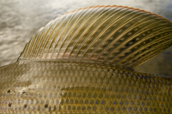 Note the lovely colors in this dorsal fin on a grayling.